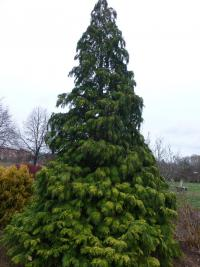 Chamaecyparis lawsoniana 'Golden Wonder'  Lawson's Cypress plant