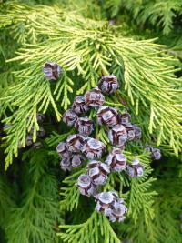 Chamaecyparis lawsoniana  'Golden Wonder'  Lawson's Cypress cones