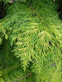 Chamaecyparis lawsoniana   'Golden Wonder'  Lawson's Cypress twings