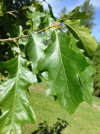 Quercus velutina     'Albertsii'  Black Oak leaves