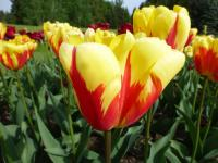 Tulipa   'Holland Quenn'  Tulip flowers
