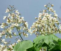 Catalpa bignonioides   Indian-bean-tree flowers