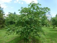 Aesculus pavia  'Humilis' - Red Buckeye