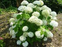 Hydrangea arborescens  'Strong Annabelle' - Smooth Hydrangea