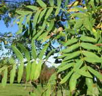 Sorbus domestica           var. pyriformis Service Tree leaves