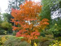 Acer japonicum 'Meigetsu'  Downy Japanese-maple plant