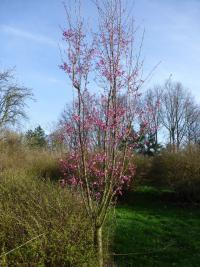 Prunus serrulata  'Collingwood Ingram' - Japanese Cherry