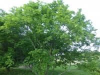 Acer platanoides  'Dissectum' - Norway maple