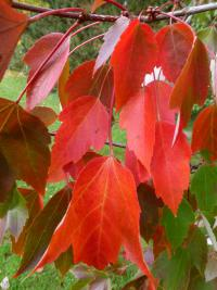 red maple Acer rubrum  'Red Sunset'