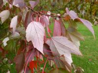 Acer rubrum           'Red Sunset'  red maple leaves back face