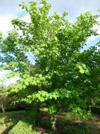 Acer tegmentosum   Manchustriped Maple plant