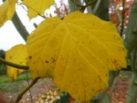 Acer tegmentosum   Manchustriped Maple leaves