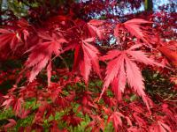 Acer palmatum     'Burgundy Lace'  Japanese maple leaves