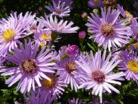 Aster dumosus  'Peter Harrison' - Rice Button Aster