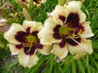 Denivka 'Piano Man' (Hemerocallis hybrida)