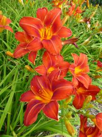 Hemerocallis 'Chicago Fire'  Daylily plant