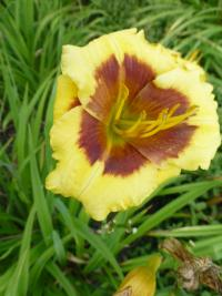 Hemerocallis  'Blackberry Candy'  Daylily flowers