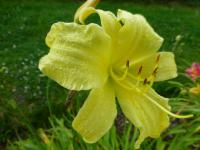 Hemerocallis  'Missouri Beauty'  Daylily flowers