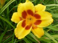Denivka 'Black Eyed Susan' (Hemerocallis hybrida)