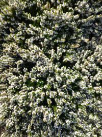 Erica carnea  'Isabell' - Winter Heath