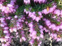 Erica carnea   'Praecox Rubra'  Winter Heath flowers