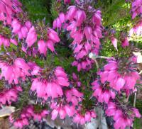 Erica carnea    'Nathalie'  Winter Heath flowers
