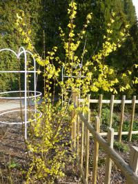 Forsythia suspensa  'Nymans' - Golden-bell