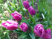 Tulipa  'Purple Prince'  Tulip flowers