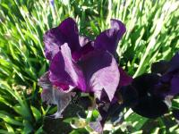 Iris barbata    'Sable Night'  Bearded Iris flowers