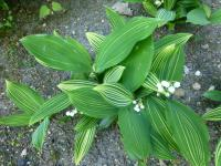 Lily of the Valley Convallaria majalis  'Albostriata'
