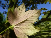 Acer pseudoplatanus    'Simon Louis Freres'  sycamore maple leaves back face