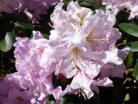 Rhododendron    'Rose Marie'  Rhododendron flowers