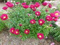 Paeonia lactiflora  'Lights Out' - Chinese Peony