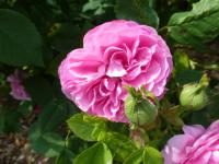 Rosa     'Louise Odier'  Rose flowers