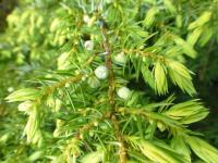 Juniperus communis     'Depressa Aurea'  Common Juniper twings