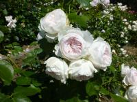 Rosa  'Herzogin Christiana' - Rose