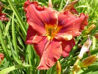 Hemerocallis hybrida   'Suddenly It's Autumn' - Daylily