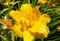 Hemerocallis   'Double Cameo'  Daylily flowers