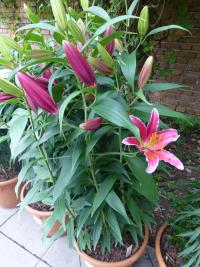 Lilium x hybridum 'Kings Gross'  Lily plant