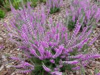 Calluna vulgaris   'Grijsje'  Heather plant