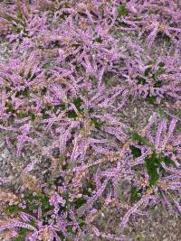 Calluna vulgaris  'Jimmy Dyce' - Heather