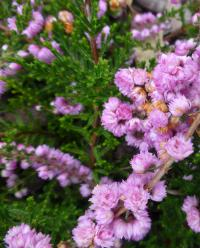 Calluna vulgaris   'Jimmy Dyce'  Heather plant