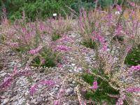 Calluna vulgaris  'Barbara Fleur' - Heather