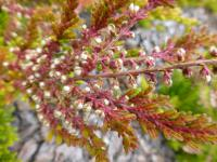 Calluna vulgaris   'Goscote Wine'  Heather plant