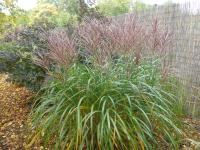 Miscanthus sinensis 'Sirene'  Chinese Silver Grass plant