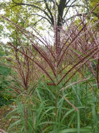 Miscanthus sinensis  'Sirene'  Chinese Silver Grass flowers