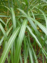 Miscanthus sinensis     'Sirene'  Chinese Silver Grass leaves