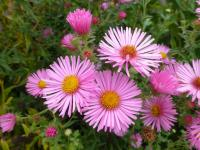 Symphyotrichum novae-angliae   'Rosie'  New England Aster flowers