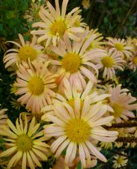 Chrysanthemum hybridum  'Mary Stoker'  Chrysanthemum flowers