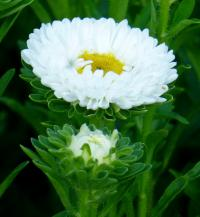Callistephus chinensis     'Mats White' China Aster flowers